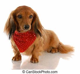 porter, autour de, chevelure, chien, long, miniature, foulard, teckel, rouges, cou