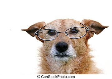 porter, chien, lunettes