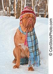 porter, habillement, chien, hiver