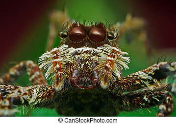 Portia Spider Face