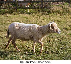 Portland Sheep - Rare Portland sheep from Dorset
