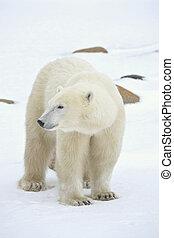 porträt, bear., polar