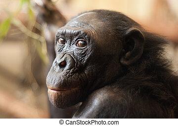 porträt, bonobo, affe