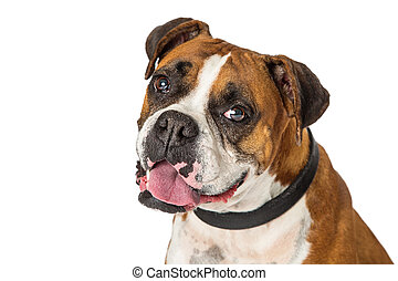porträt, boxer, closeup, hund, mischling