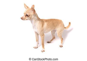 porträt, chihuahua, hund
