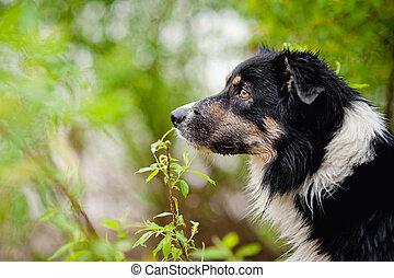 porträt, collie, umrandungen, hund