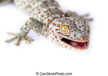 porträt, gecko