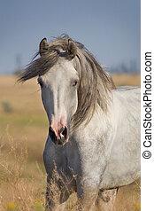 porträt, grau, pferd