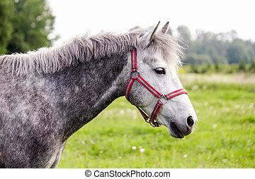 porträt, graue , pony, weide