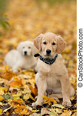 porträt, hund, -, goldener apportierhund