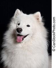 porträt, hund, samoyed