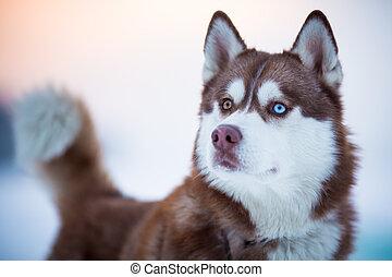porträt, hund, sibirischer schlittenhund