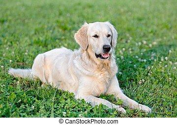 porträt, junger, schoenheit, hund