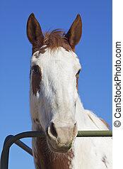 porträt, kopf, pferd