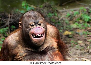 porträt, lächeln, affe, orang utan, lustiges