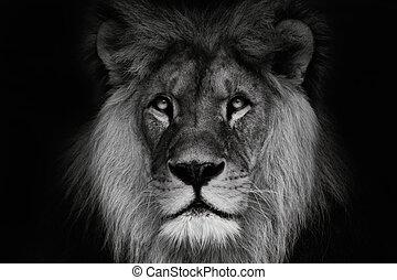 loewen koenig vorherrschend lion l we drei schwarz animal portr t wei es lions. Black Bedroom Furniture Sets. Home Design Ideas