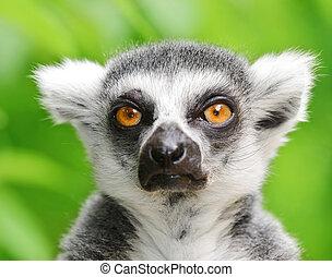 porträt, lemur, ring-angebunden