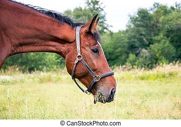 porträt, pferd, bucht