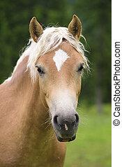 porträt, pferd, haflinger