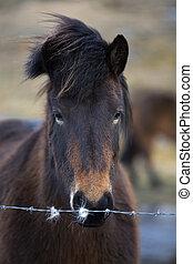 porträt, pferd, isländisch, wiese