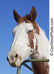 porträt, pferd, nett