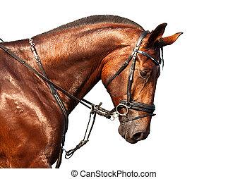 porträt, pferd, weißer hintergrund, bucht