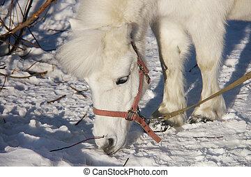 porträt, pony, winter, weißes