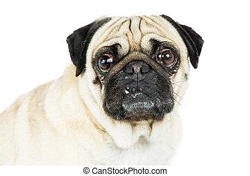 porträt, pug hund, zahn, heraus