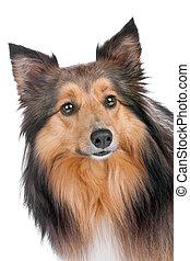 porträt, sheltie, hund