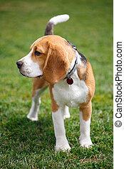 porträt, von, a, beagle, hund