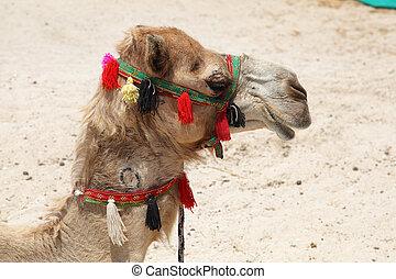 porträt, von, a, kamel, strand, in, dubai