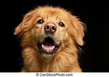 porträt, von, a, reizend, hovawart, puppie