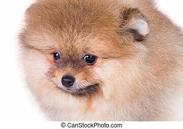 porträt, von, a, reizend, pomeranian, junger hund, nahaufnahme