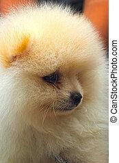 porträt, von, a, schöne , junger hund, arten, pomeranian