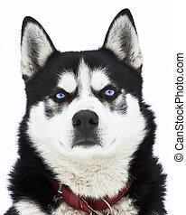 porträt, von, a, sibirischer schlittenhund, hund