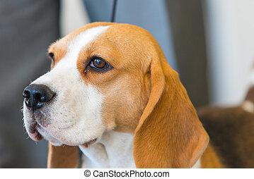 porträt, von, beagle