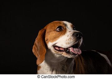 porträt, von, beagle, hund, auf, schwarzer hintergrund
