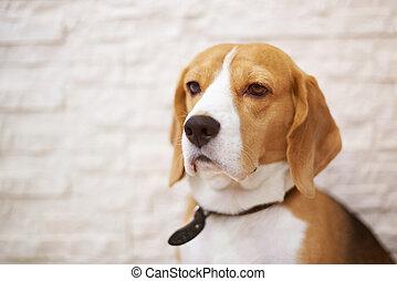 porträt, von, beagle, hund