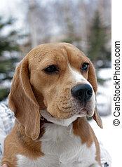 porträt, von, beagle, hunden
