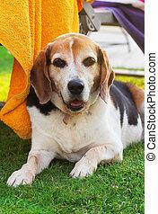 porträt, von, ein, erwachsener, beagle, hund