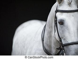 porträt, von, grau, pferd, auf, schwarz, hintergrund.