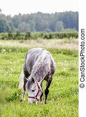 porträt, von, graue , pony, in, der, weide