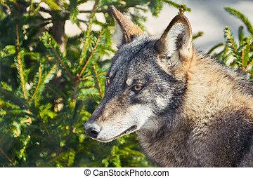 porträt, von, grauer wolf