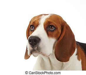 porträt, von, junger, beagle, hund