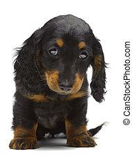 porträt, von, junger hund, von, dachshund