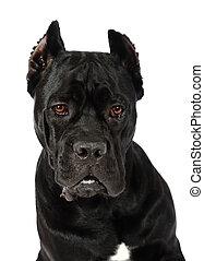 porträt, von, krückstock, corso, hund