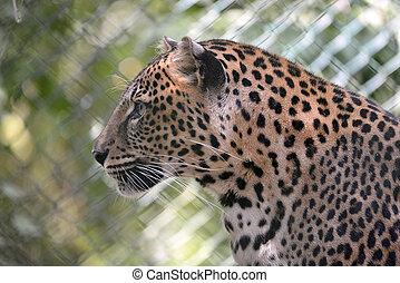 porträt, von, leopard