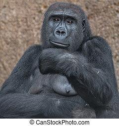 porträt, von, mächtig, afrikanisch, gorilla