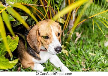 porträt, von, reizend, weibliche , beagle, dog.