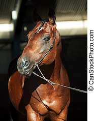 porträt, von, schöne , pferd, auf, dunkler hintergrund